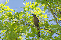 Also known as the Mexican grackle, the great-tailed grackle is a member of the new world blackbird family (Icteridae) and is very common from the American Great Plains, the American Southwest and all of Mexico south to also include all of Central America. This brown/black female was first noticed making an awful commotion with a number of other males and females in a tree in rural Van Horn, Texas.