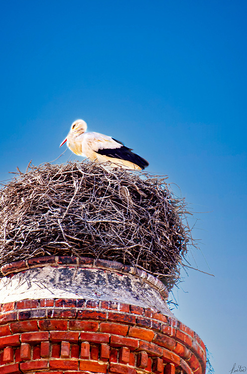Closeup of A White Stork in it's nest.