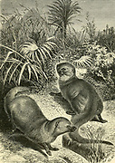 Egyptian Mungooses [Mongooses] (Herpestes ichneumon) From the book ' Royal Natural History ' Volume 1 Section II Edited by  Richard Lydekker, Published in London by Frederick Warne & Co in 1893-1894
