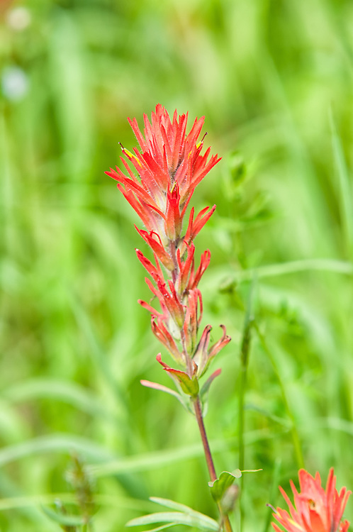The harsh paintbrush is one of those unusual plants that are found in association with particular species of other native wildflowers. Because it actually feeds on the roots of its neighbors, it is actually at least semi-parasitic.