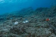 Base white bream-Sar commun (Diplodus sargus), Pico Island, Azores Archipelago.
