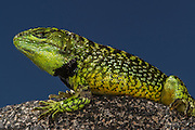 Gunther's Whorltail Lizard (Stenocercus guentheri)<br /> Andes<br /> ECUADOR, South America<br /> male