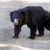 Asia, India, Ranthambore. Sloth Bear at Ranthambore.