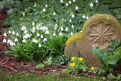 Galanthus plicatus 'Augustus' growing amongst gravestones. Snowdrops.
