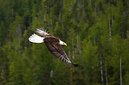 golden wings of the beautiful bald eagle soaring over the alaskan wilderness