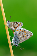 Common Blue (Polyommatus icarus) Butterfly, pair mating on grass stalk, Oxfordshire, UK.