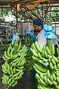 Costa Rica 1-14_23-09 Banana Plantation Processing
