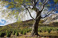 Common juniper (Junipera communis) and Common beech (Fagus sylvatica) trees growing on pasture land grazed by livestock in summer on subalpine meadow. Domogeld Valea Cernei National Park, Baile Herculane, Caras Severin, Romania.