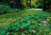 Bottomland  cypress swamp - Mississippi.