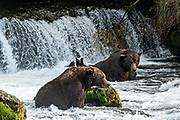 Jumbo adult Brown Bears known as 32 Chunk, left, and the dominate male 747, watch for Sockeye Salmon in the far pool at Brooks Falls in Katmai National Park and Preserve September 16, 2019 near King Salmon, Alaska. The park spans the worlds largest salmon run with nearly 62 million salmon migrating through the streams which feeds some of the largest bears in the world.
