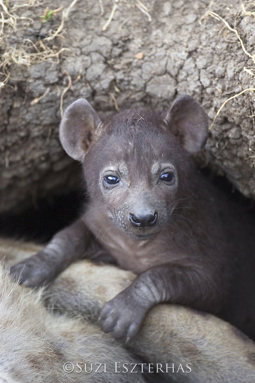 Spotted Hyena<br /> Crocuta crocuta<br /> 34 day old cub(s) in den <br /> Masai Mara Conservancy, Kenya