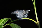 Plain-winged Antshrike (Thamnophilus schistaceus)<br /> Yasuni National Park, Amazon Rainforest<br /> ECUADOR. South America<br /> HABITAT & RANGE: Subtropical or tropical moist lowland forests and subtropical or tropical swamps of Bolivia, Brazil, Colombia, Ecuador and Peru.