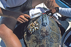 Attaching Satellite Tag To Loggerhead Sea Turtle