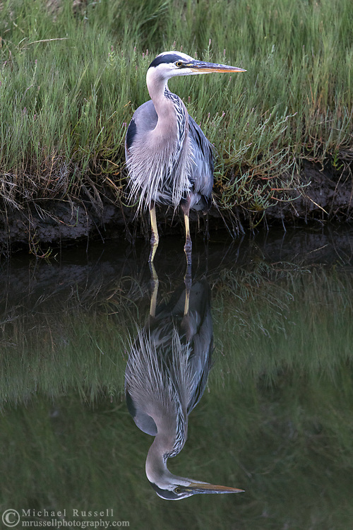 A wading Great Blue Heron (Ardea herodias) looks for small fish and invertebrates along the shoreline.  Photographed at Blackie Spit in Surrey, British Columbia, Canada.