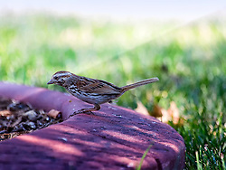 A Song Sparrow Leaps Around Foraging For A Meal