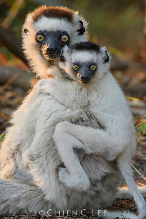 Verreaux's Sifaka (Propithecus verreauxi), mother with young. Amboasary, Madagascar.