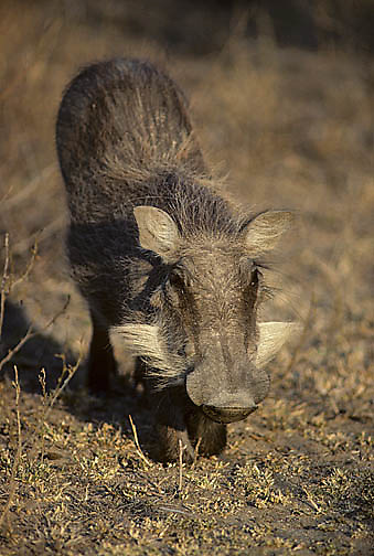 Warthog, (Phacochoerus aethiopicus) Young down on elbows browsing on grass. Kruger National Park. South Africa.Evening.