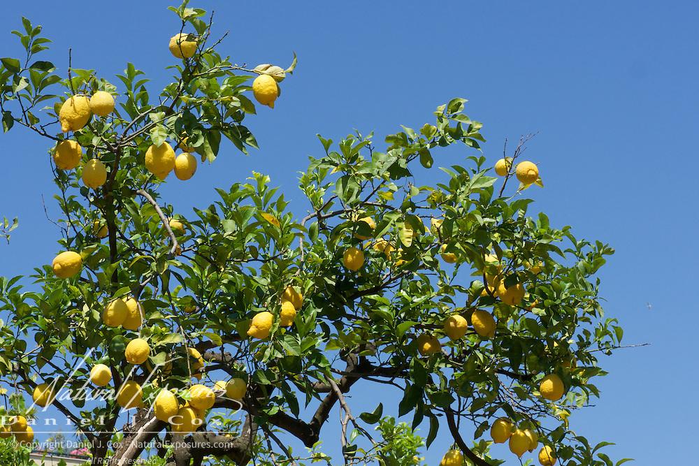 Sorrento lemons in a lemon Orchard in Sorrento, Italy