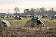 Free range pig farming pork production Shottisham, Suffolk, England, UK