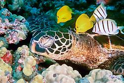 yellow tang, Zebrasoma flavescens, and convict tang, Acanthurus triostegus, graze algae off green sea turtle, Chelonia mydas, Kona Big Island, Hawaii, Pacific Ocean