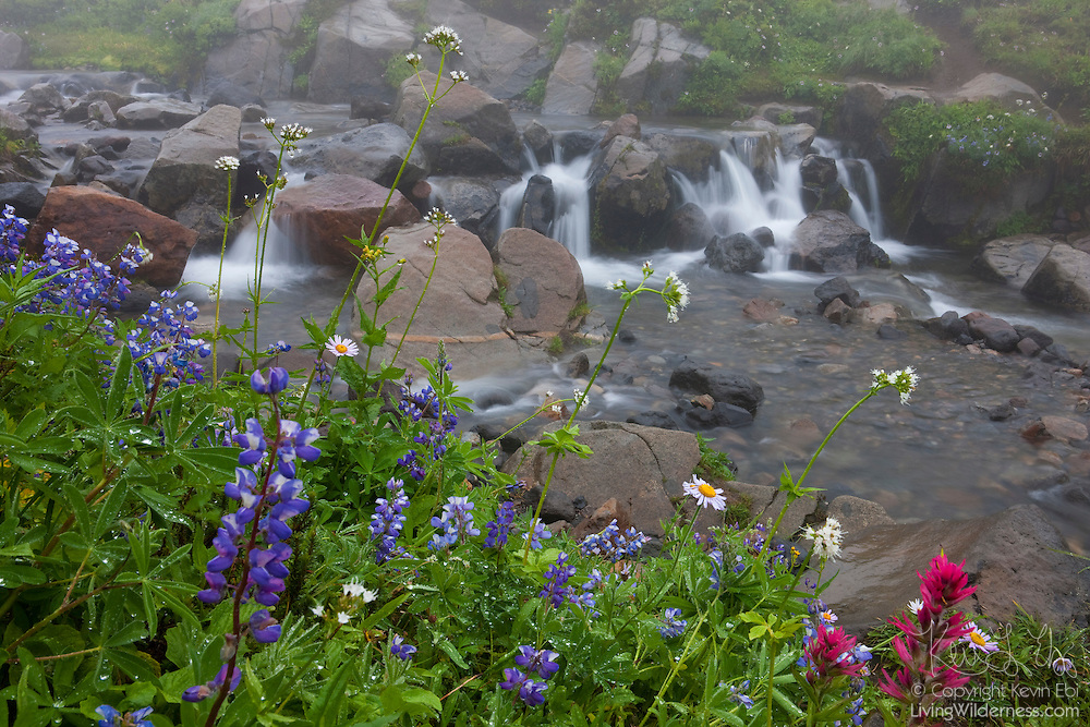 Summer wildflowers, including Indian paintbrush, line the banks of Edith Creek, located in the Paradise Meadows of Mount Rainier National Park, Washington.