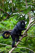 Parauapebas_PA, Brasil...Primata conhecido  como bugio, guariba ou capelao (Alouatta caraya) na Floresta Nacional de Carajas, Para...Primate known as a bugio, or chaplain (Alouatta caraya) at Carajas National Forest, Para...Foto: JOAO MARCOS ROSA / NITRO