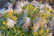 California Gull Feathers (from breeding colony) caught in Chinchweed, Mono Lake, Mono Basin National Forest Scenic Area, California