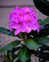 Rhododendron Flowers. Image taken with a Fuji X-T3 camera and 80 mm f/2.8 OIS macro lens (ISO 320, 80 mm, f/4, 1/240 sec).