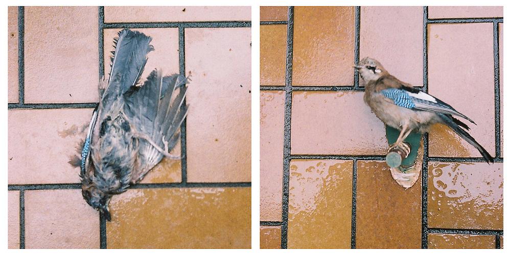 1970-2010  Garrulus glandarius (Eichelhäher - Jay) - also known as MAGOLWES in middle Germany  region Siegerland /Westerwald. Left photo taken 2010, Right photo  bird shot 1970,