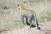 Tanzania, Serengeti National Park, Leopard, Panthera pardus, cub Photographed in December