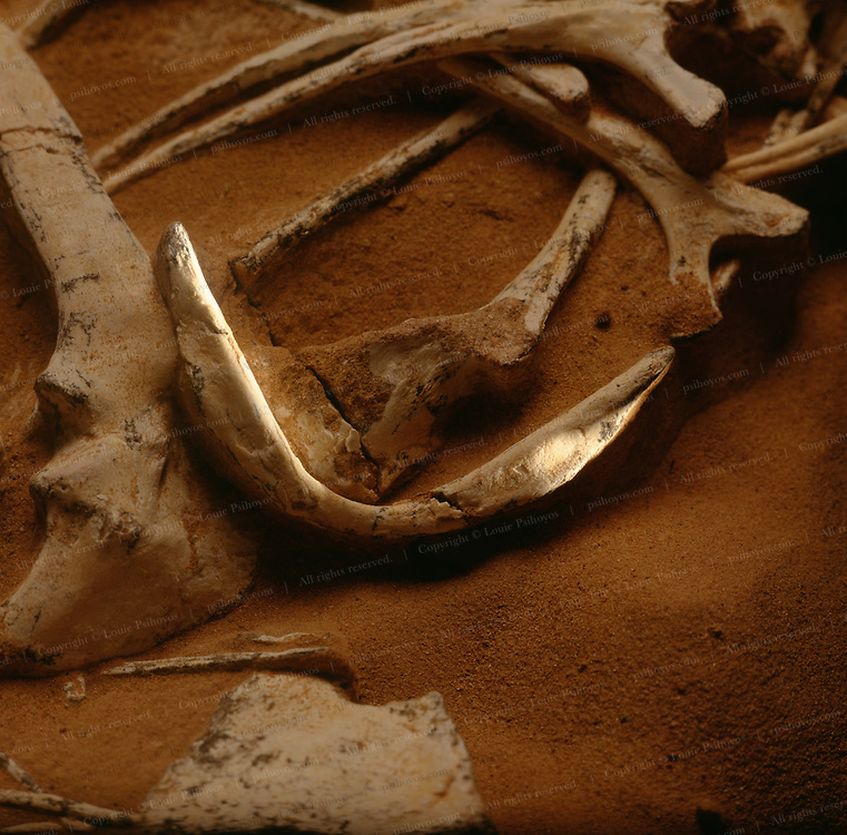 """It is thought that a Furculum of two clavicles, or """"wish bone"""" was a necessary evolutionary development for flight.  Oviraptors had one like this specimen found in the Gobi Desert of Mongolia by the American Museum Expedition."""
