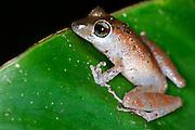 Ecuador, May 8 2010: Tree frog on leaf in Huaorani Territory. Copyright 2010 Peter Horrell