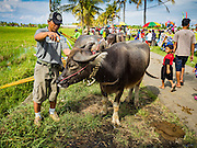 09 OCTOBER 2016 - JEMBRANA, BALI, INDONESIA: A man pours water on his buffalo to cool it down after a race at a makepung in Tuwed, Jembrana, Bali. Makepung is buffalo racing in the district of Jembrana, on the west end of Bali. The Makepung season starts in July and ends in November. A man sitting in a small cart drives a pair of buffalo bulls around a track cut through rice fields in the district. It's a popular local past time that draws spectators from across western Bali.     PHOTO BY JACK KURTZ
