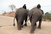 Two Asian elephants and their mahouts (handlers) walk along the road swinging their tails at the Sayaboury Elephant Festival, Sayaboury province, Lao PDR. Originally created by ElefantAsia in 2007, the 3-day elephant festival takes place in February in the province of Sayaboury with over 80,000 local and international people coming together to experience the grand procession of decorated elephants. It is now organised by the provincial government of Sayaboury.The Elephant Festival is designed to draw the public's attention to the condition of the endangered elephant, whilst acknowledging and celebrating the ancestral tradition of elephant domestication and the way of life chosen by the mahout.