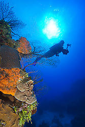 Woman scuba diver with underwater digital camera, swimming over pristine coral reef, West End, Grand Bahama, Atlantic Ocean