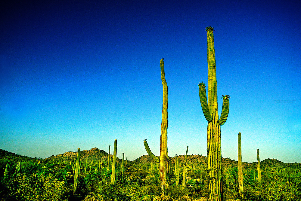 Saguaro Cactus, Organ Pipe Cactus National Monument, Ajo, Arizona USA