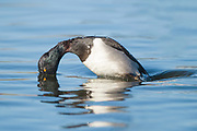 Stock Photo of ring necked duck captured in Colorado.  In the Rockies, this duck breeds in cool woodland ponds south to Wyoming.