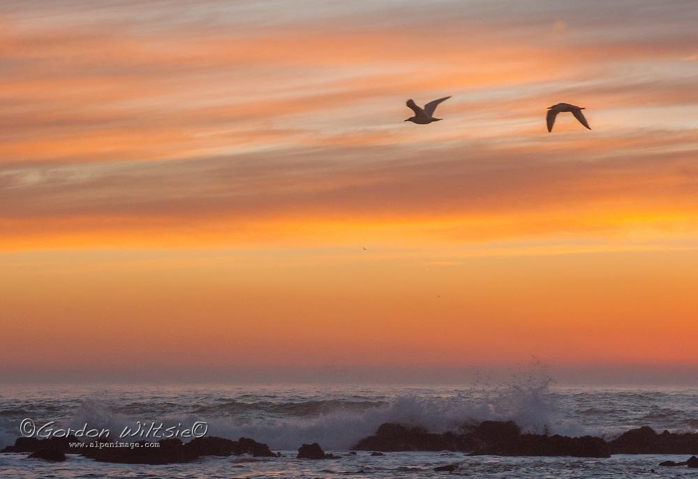 Sunset illuminates flying birds and waves washing ashore on the California Coast near Moss Beach.