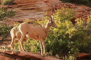 Bighorn sheep, spotted late in the day on ledge overlooking Mount Carmel Highway, route from East Entrance to Canyon Junction. Photo taken May 10, 2016.