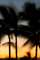 Palm trees sway in the sea breeze at sunset in La Paz, Baja Mexico.