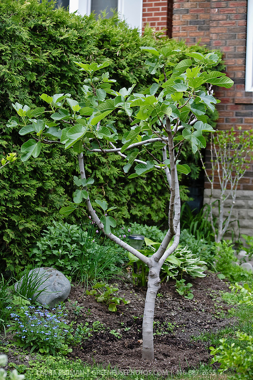 Fig tree (Ficus carica) in an urban front yard.