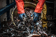 Edinburgh, Scotland. August, 2017. Robert Johnston junior put the fished crustaceans into a box for the next selection on August 31, 2017 near Edinburgh, Scotland. Port Seton is one of the few East Lothian harbours to maintain a fishing fleet, but the harbour has seen a sharp drop in fishing in recent years, forcing many to abandon the industry. Father and son, with the same name, Robert Johnson, were forced to sell one of their trawlers due to a decrease in crustacean yields, but they still continue to brave the North sea conditions to bring in their daily catch.  © Simone Padovani