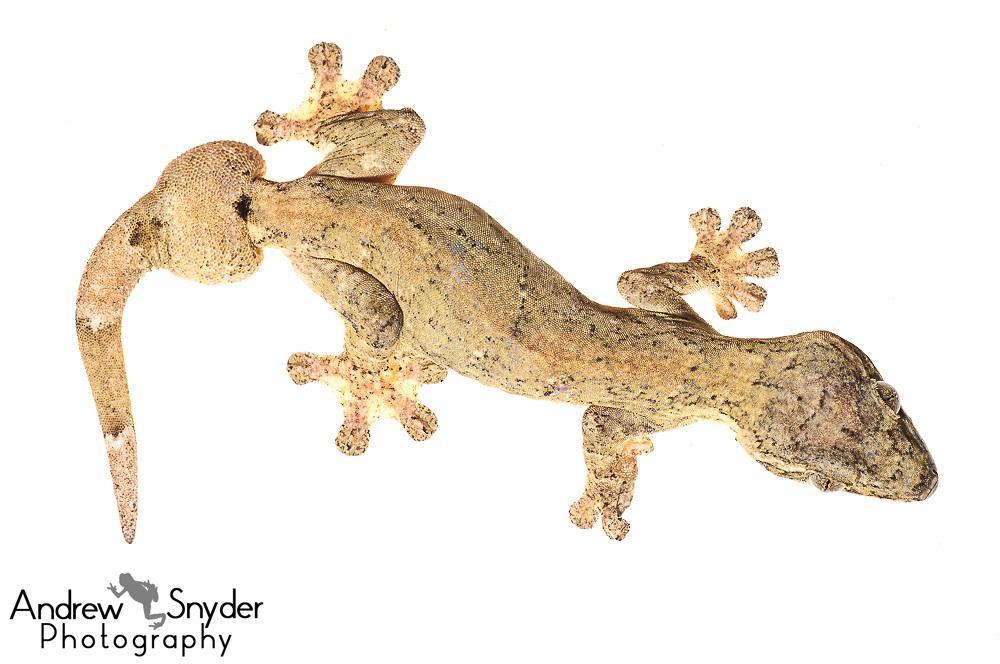 Turnip tail gecko, Thecadacylus rapicauda, Chenapau, Guyana, March 2014
