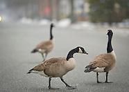 Canada Geese, Long Island, NY 2014