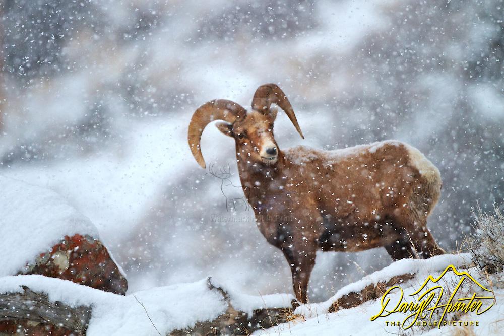 Bighorn ram in snowstorm in Jackson Hole Wyoming