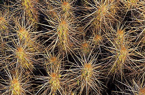 Mexico, Cholla cactus. Baja, Mexico.