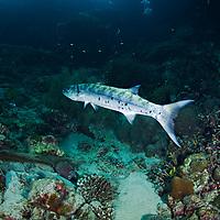Great Barracuda Sphyraena barracuda, Bali Indonesia