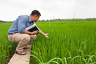 A researcher measures rice stalks with his fingers in a lush green rice field, Vietnam, Southeast Asia