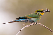 A little bee-eater, Merops pusillus, holding a cicada in its beack.
