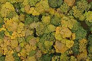 Broadleaf woodland canopy in autumn. Surrey, UK.